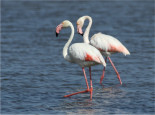 Birdwatching Algarve Ria Formosa Greater Flamingo