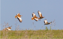 Great Bustards Flying
