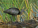 Birdwatching in Montegordo Glossy Ibis