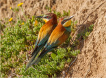 Birdwatching Algarve European Bee-eater