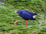 Birdwatching Algarve Purple Swamphen