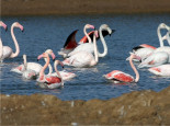Greater flamingos at Ria Formosa