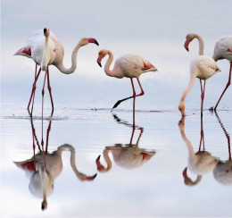 Flamingos in Ria Formosa